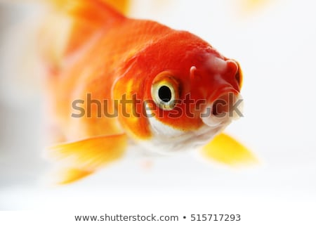 Closeup of goldfish in water Stock photo © Nejron