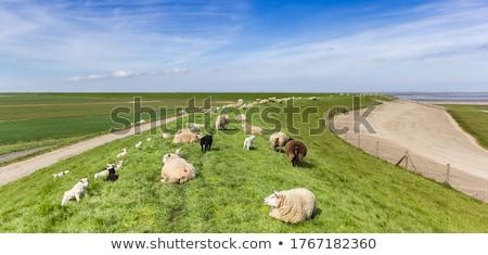 ストックフォト: オランダ語 · 羊 · 島 · 雲 · 草 · 緑