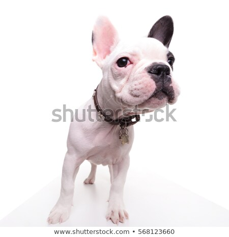 wide angle picture of a cute french bulldog looking curious stock photo © feedough