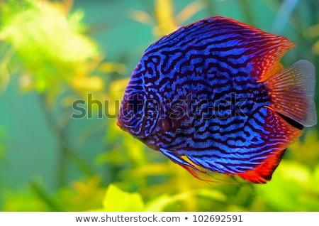 Parlak balık yüzmek akvaryum renkli çiçek Stok fotoğraf © vlad_star