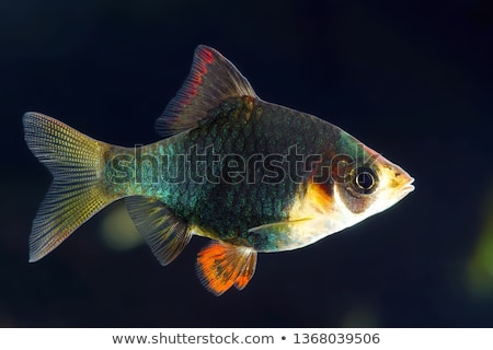 Green Tiger Barb Aquarium Fish Isolated on White Stock photo © robuart