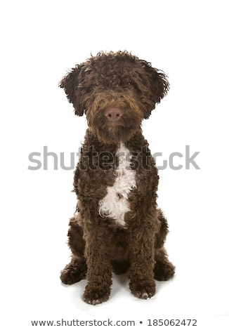 Stock photo: beautiful lagotto romagnolo dog on white background