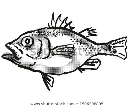 Spinycheek Seabass Australian Fish Cartoon Retro Drawing Stock photo © patrimonio