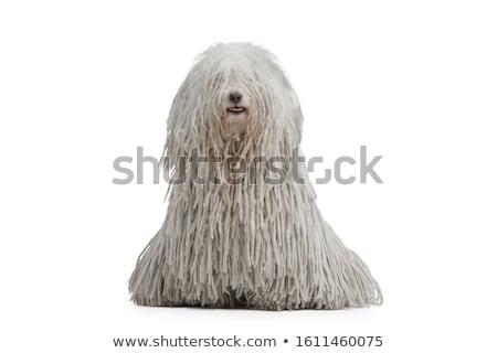 Portrait of a cute Puli dog Stock photo © vauvau