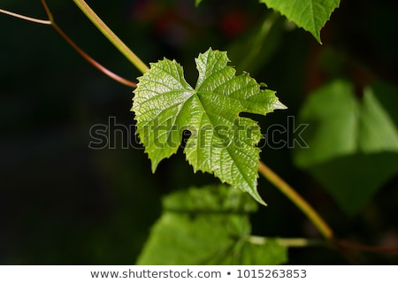 dark grape and leaf stock photo © smithore