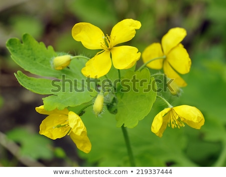 Greater celandine (Chelidonium majus) Stock photo © rbiedermann