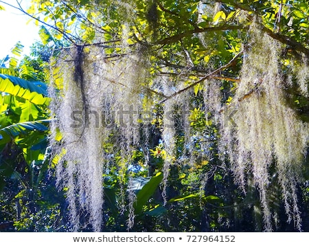 Evergreen with Spanish Moss Stock photo © chrisbradshaw