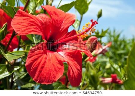 Hibiscus Flower Against Blue Sky Stock photo © rhamm
