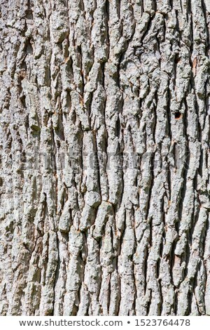 Stock photo: harmonic pattern of oak trees in the forest