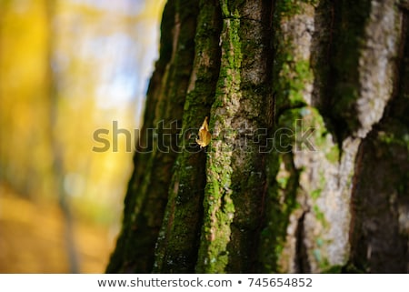 Close up of tree bark on trunk Stock photo © jenbray