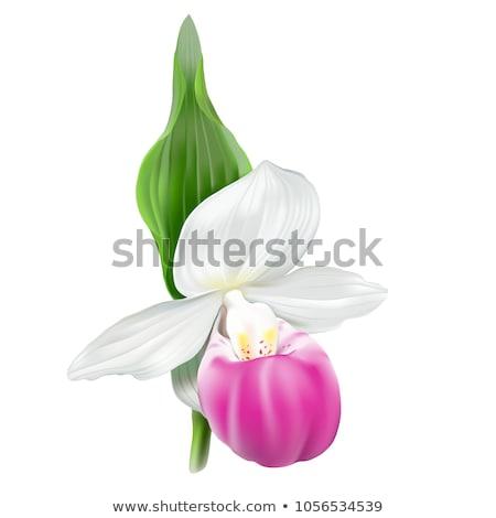 Beyaz bayan terlik orkide bahar çiçek Stok fotoğraf © tito