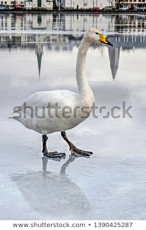 Swan trying to walk on the ice Stock photo © Kayco