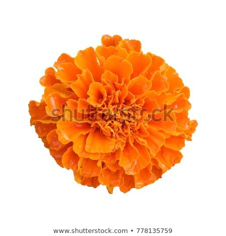 Marigold Flowers Macro Stock photo © ArenaCreative