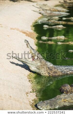 many crocodiles swam  Stock photo © OleksandrO