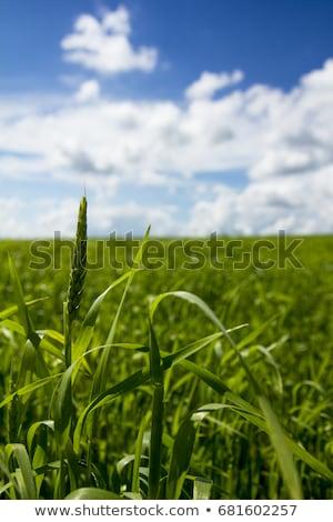 Сток-фото: молодые · пшеницы · растущий · зеленый · фермы · области