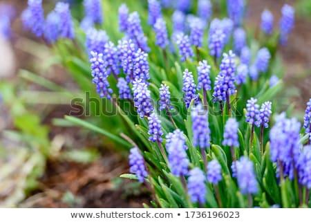 Сток-фото: красивой · рано · весенние · цветы · выстрел · зеленый · завода