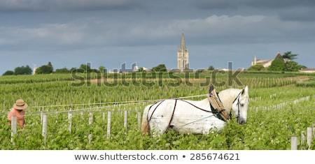 Labour Vineyard with a draft white horse-Saint-Emilion-France Stock photo © FreeProd