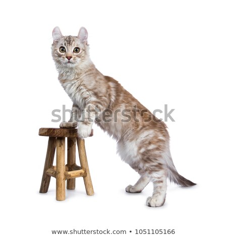 Chocolate silver tortie tabby American curl caty / kitten Stock photo © CatchyImages