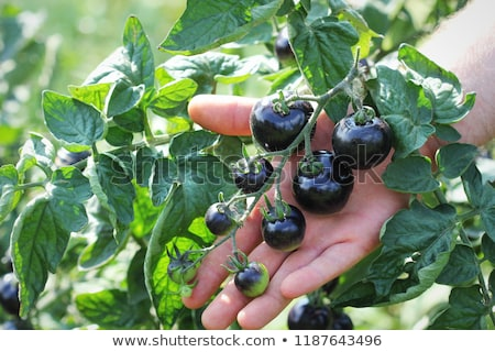 Stock photo: Black tomatoes on a branch in the garden. Indigo rose tomato