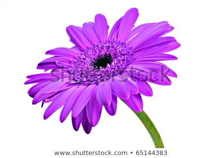 Three Purple Daisy Flowers Stok fotoğraf © Tish1