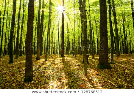 stems of trees in forest Stock photo © MiroNovak