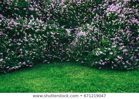 Fleur pourpre Bush fleurs Photo stock © vavlt