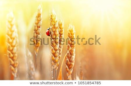 Orelhas trigo bicho céu natureza paisagem Foto stock © mycola