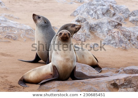 Cape Fur Seal Portrait Stock photo © fouroaks