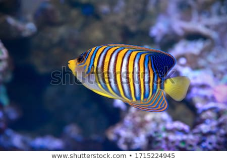 Blue Tropical Fish Stock photo © cosma