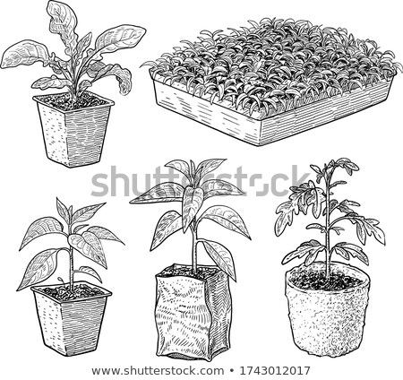Baby seedling sketched Stock photo © shawlinmohd
