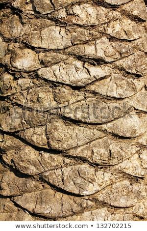 kaba · kahverengi · hurma · ağacı · ahşap · havlama · doğal - stok fotoğraf © meinzahn