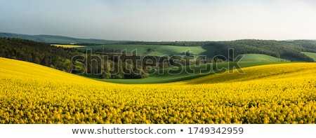 rapeseed  Stock photo © LianeM