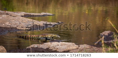 monitor · lopen · ondiep · water · South · Africa · dier - stockfoto © prill