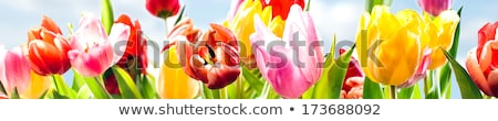 Beautiful Red Tulips in Field under Spring Sky in Bright Sunlight Stock photo © maxpro