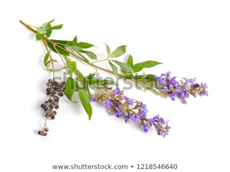 Vitex Agnus Castus Herb Stock photo © marilyna