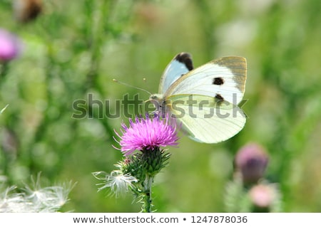 White cabbage butterfly on a flower Stock photo © manfredxy