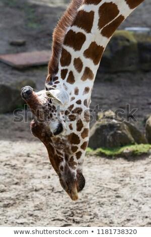 Zsiráf görbület lefelé park égbolt természet Stock fotó © simoneeman