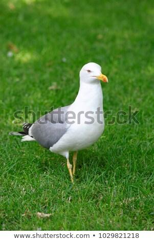 Seagull standing on grass Stock photo © Hofmeester