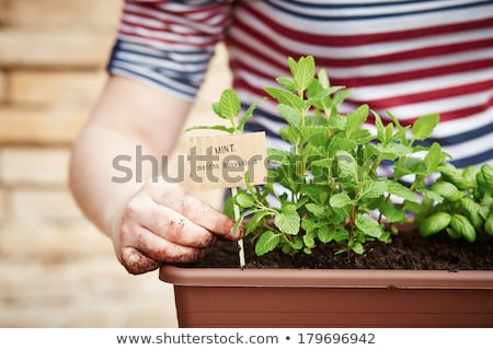 mint plant with seeds Stock photo © romvo