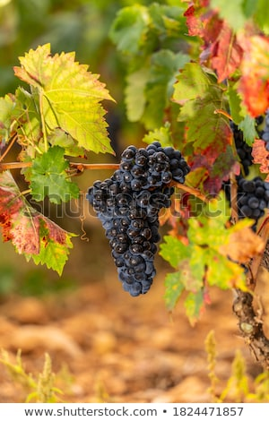 Vinha rico colheita barril garrafa vinho tinto Foto stock © jossdiim