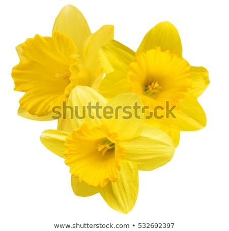 Geïsoleerd Geel narcis bloem bloesem macro Stockfoto © manfredxy