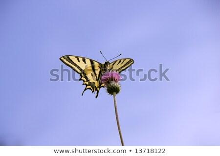 Papilio Alexanor, Yellow Swallowtail Butterfly Stock photo © Qingwa