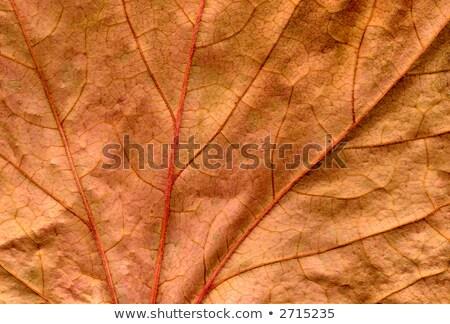 Zachowane martwych brązowy bluszcz liści Zdjęcia stock © latent