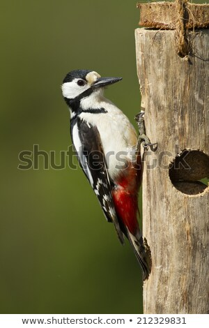 Great Spotted Woodpecker in sunlight Stock photo © suerob