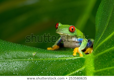 Amazon tree frog Stock photo © kikkerdirk