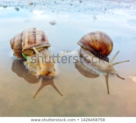 two brown sea snail shells Stock photo © Zerbor