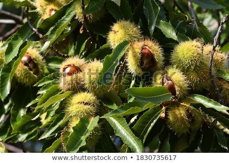 sweet chestnuts stock photo © designsstock