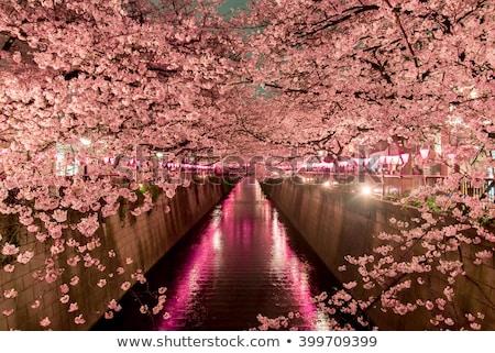 cerisiers · en · fleurs · arbres · bord · de · l'eau · parc · fleurs · du · printemps · fleurir - photo stock © bobkeenan