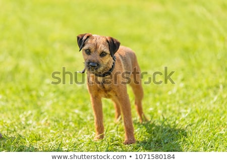 Border terrier on a green grass lawn Stock photo © CaptureLight