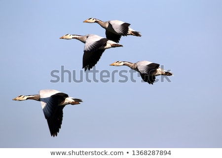 geese heading south Stock photo © dgilder